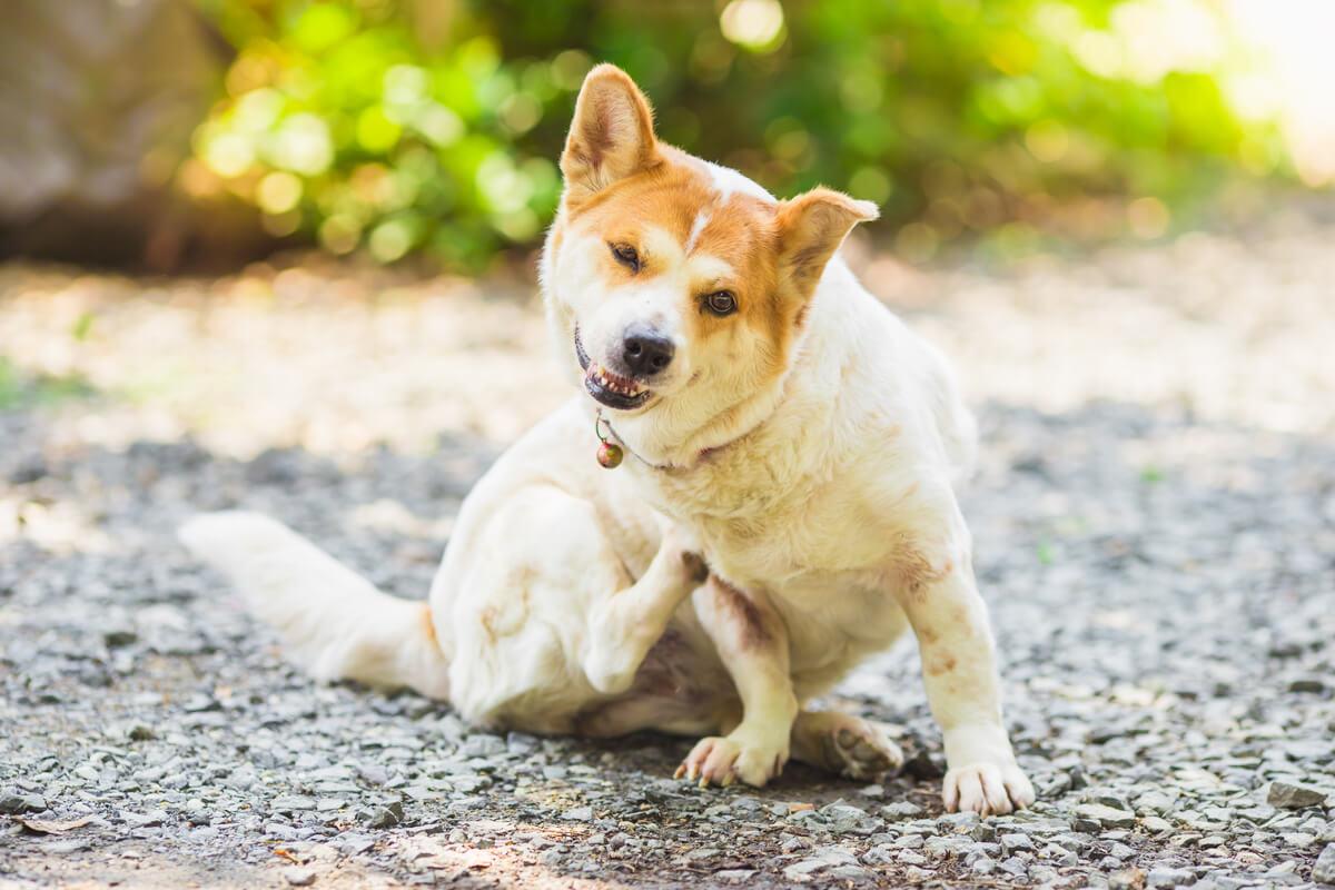 Patologías de la piel en perros.