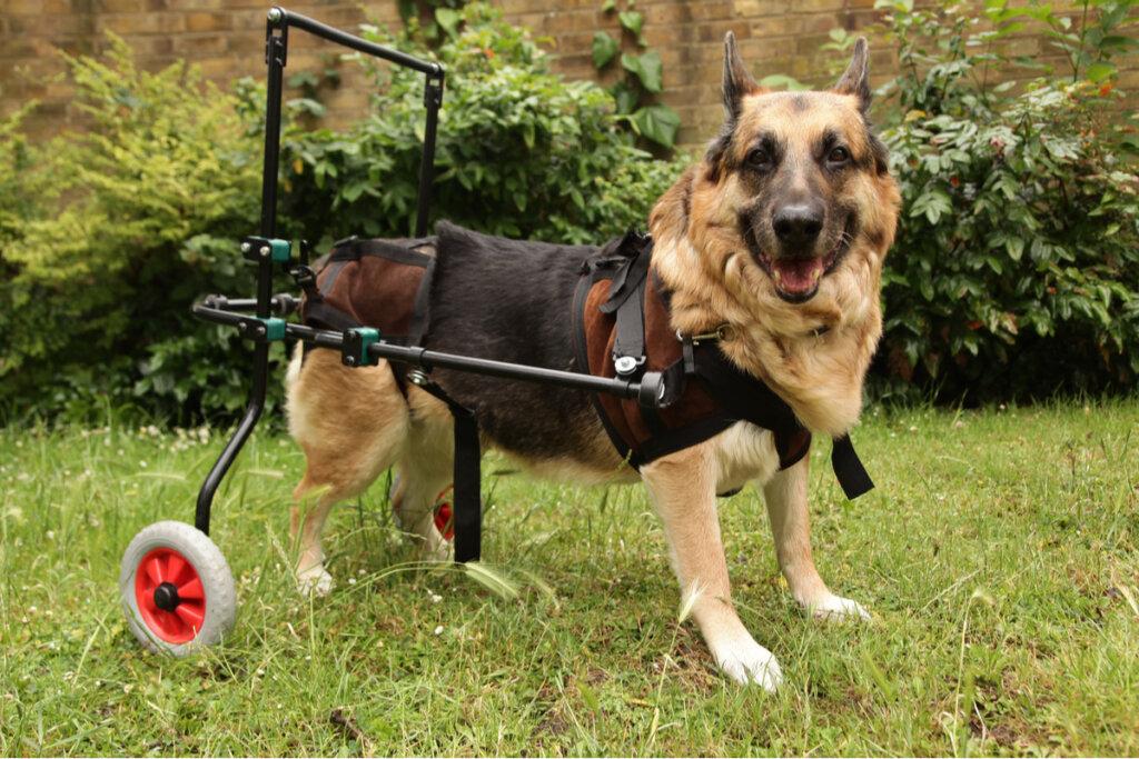 Enfermedades autoinmunes en perros: ¿qué saber?
