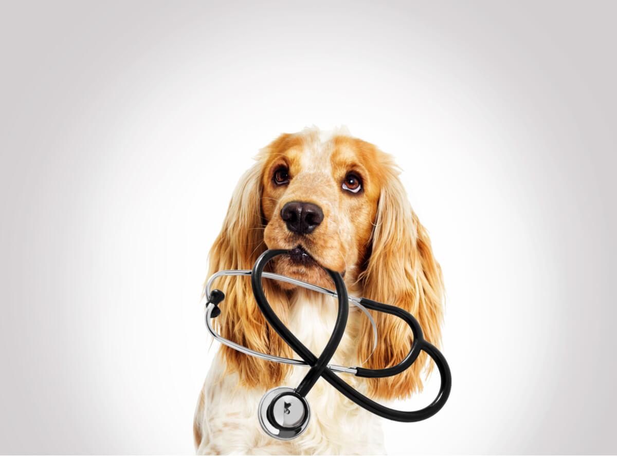 Un perro sujeta un estetoscopio.
