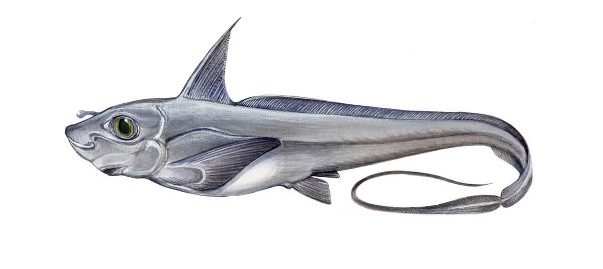 Dibujo de un pez quimera.