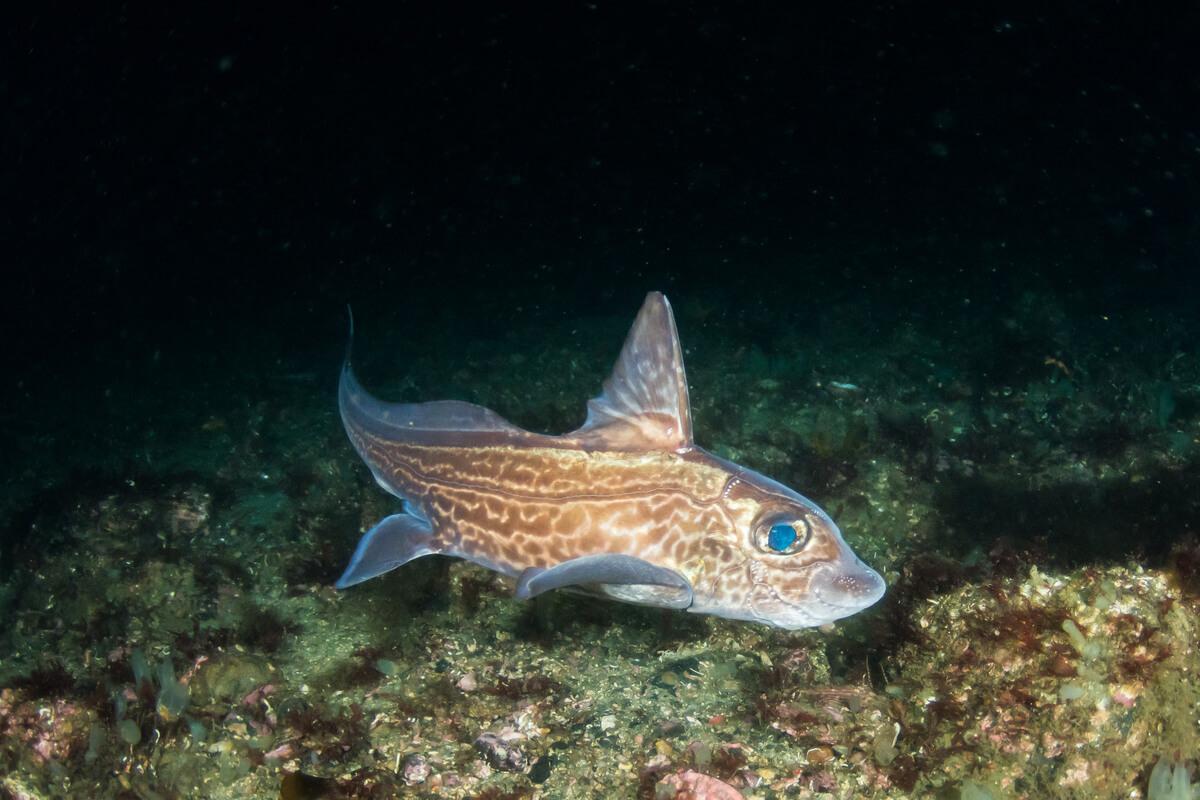Un pez quimera.