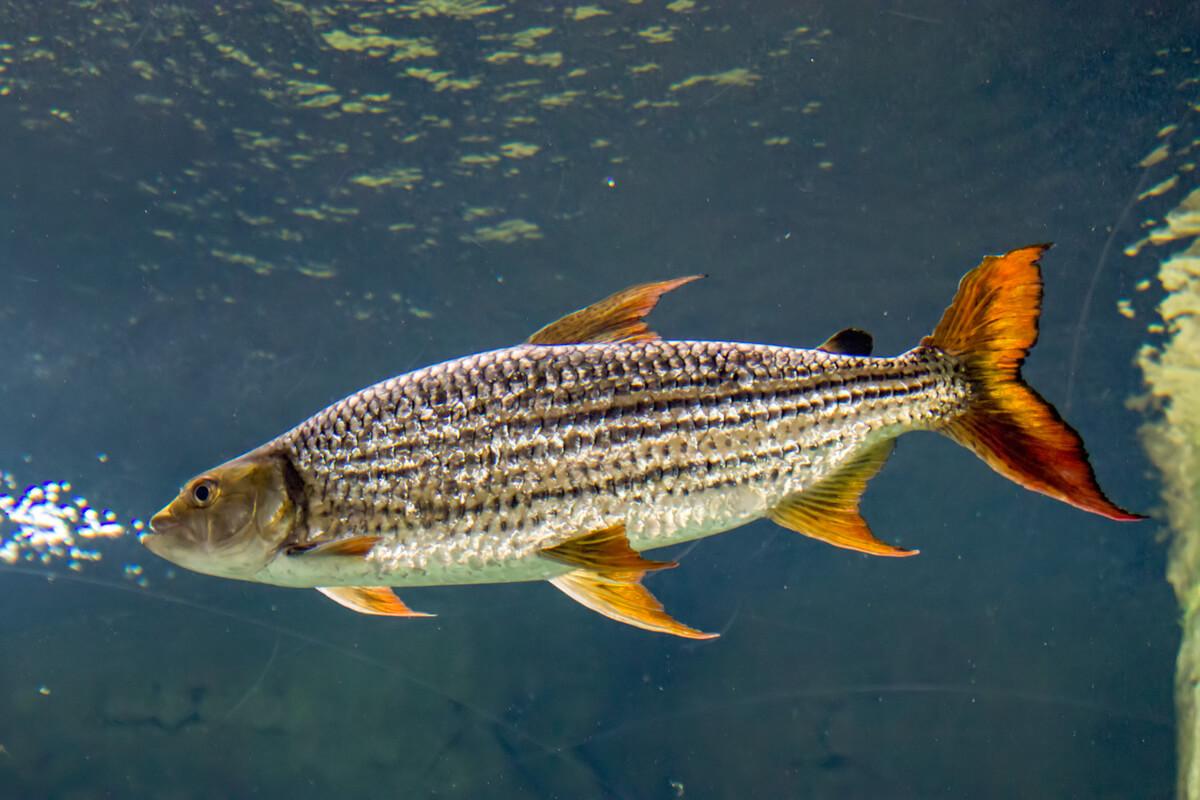 Un pez tigre de cuerpo entero.