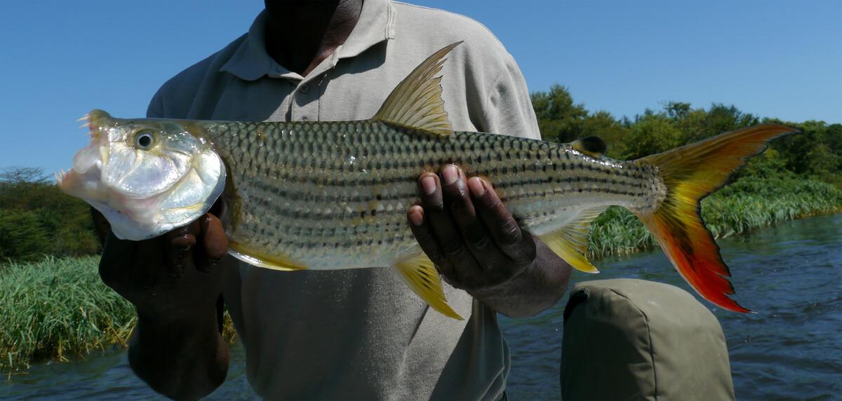 Un pez tigre que ha sido pescado.