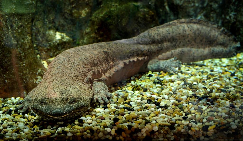 El anfibio más grande del mundo