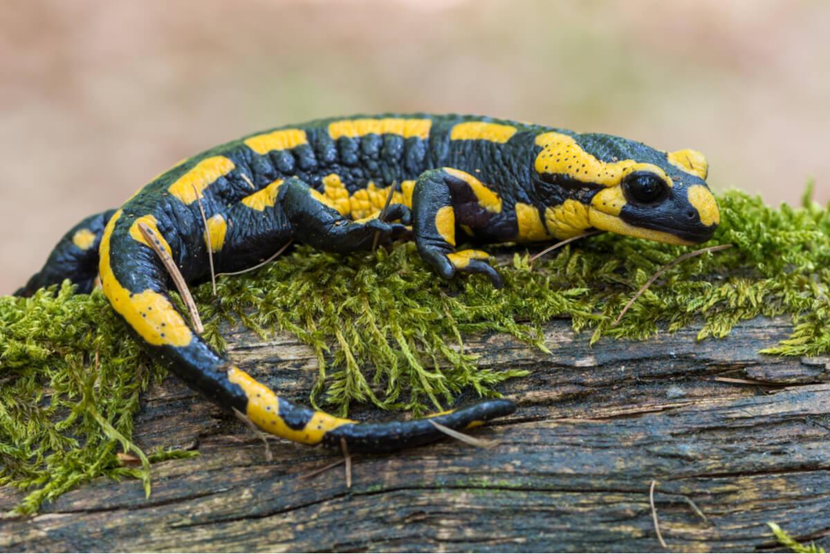 Una salamandra sobre un tronco.