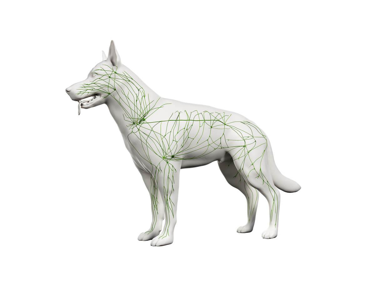 Modelo 3D del sistema inmune de un perro.