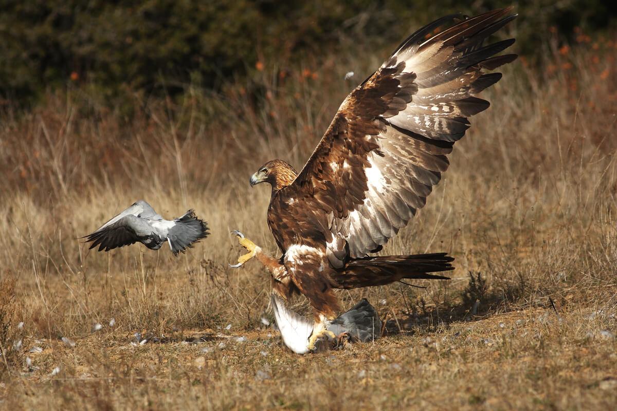 Las técnicas de caza en águilas son muy variadas.
