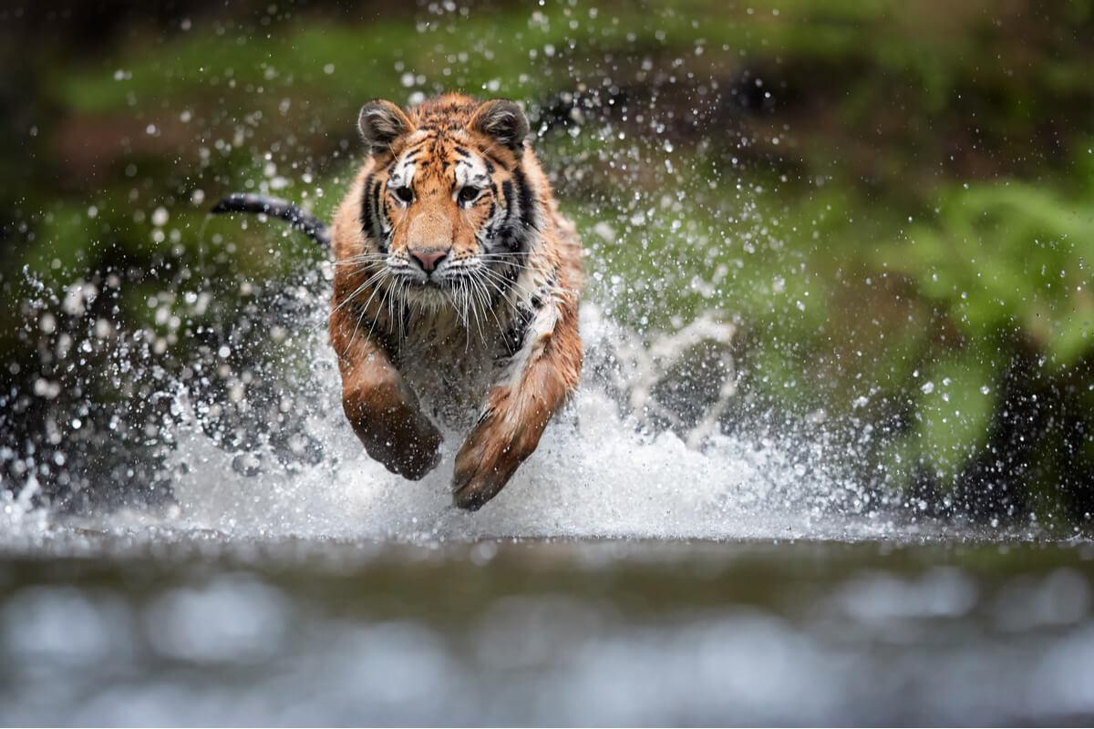 Un tigre corriendo en un río.
