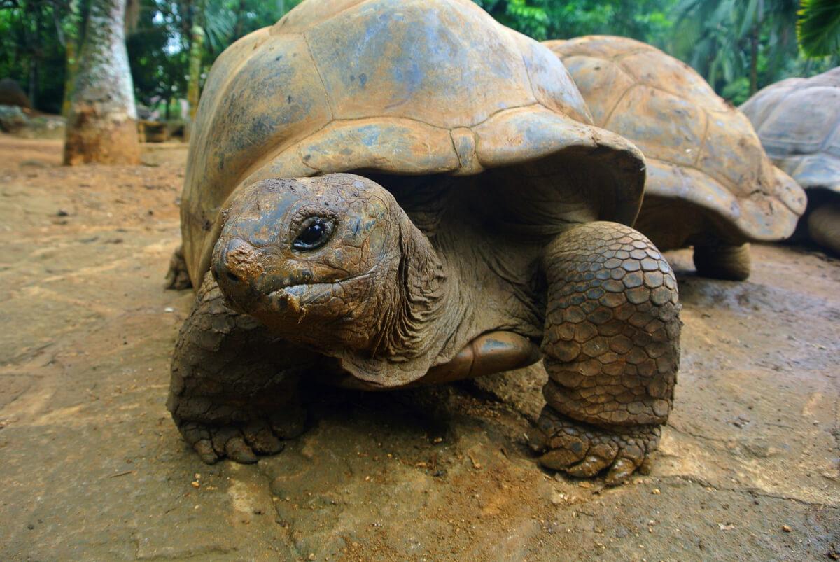 ¿Las tortugas sienten a través de su caparazón?
