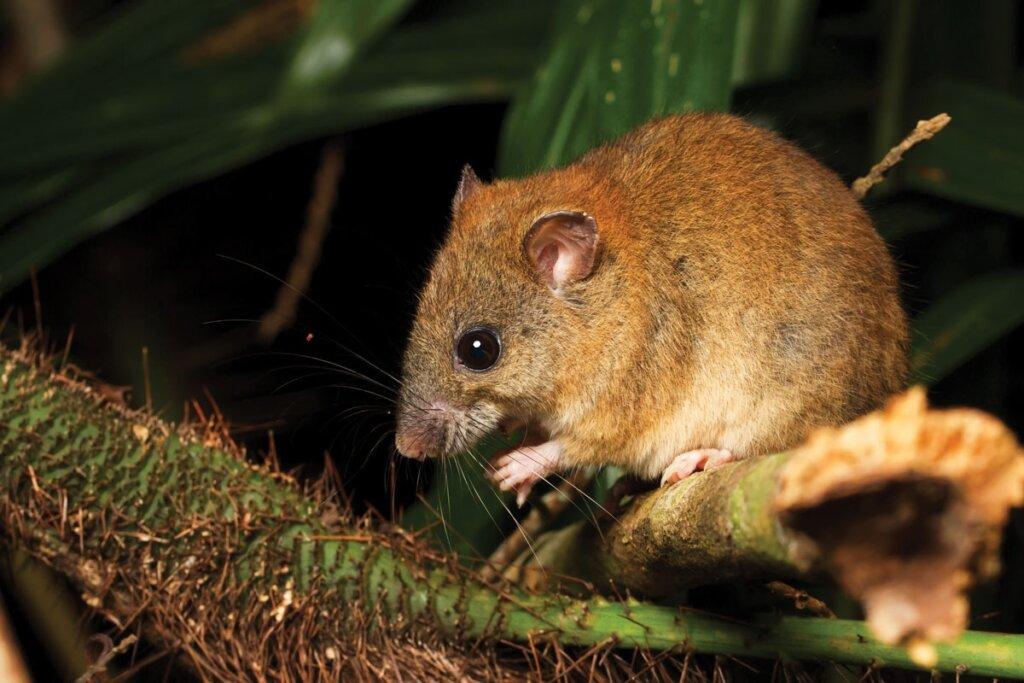 El primer mamífero extinto por el cambio climático