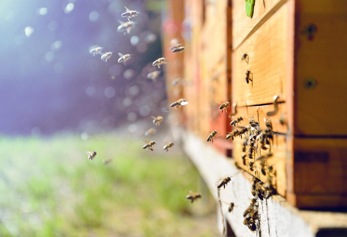 La apicultura es una de las producciones animales alternativas.