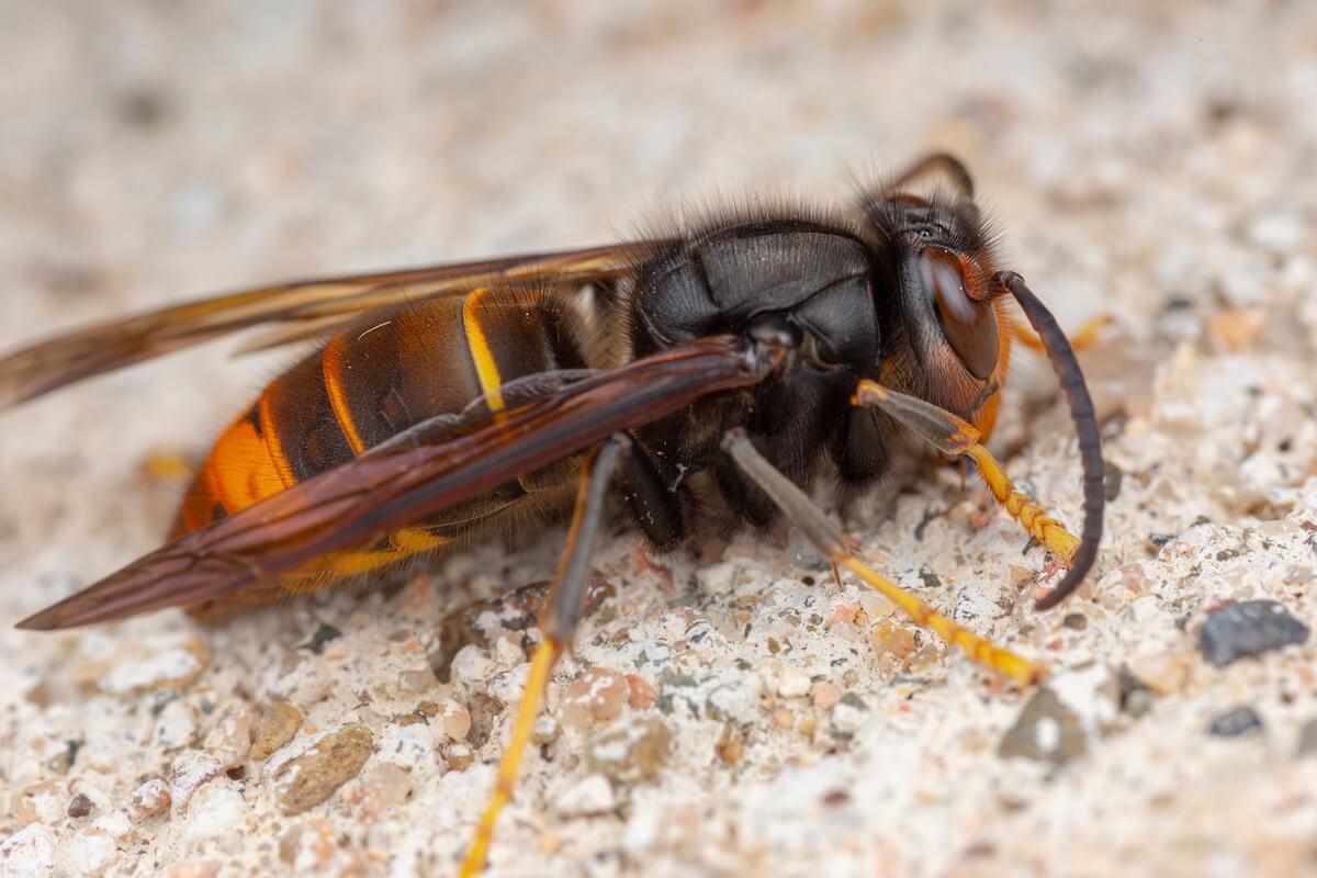 Uma vespa asiática no chão.