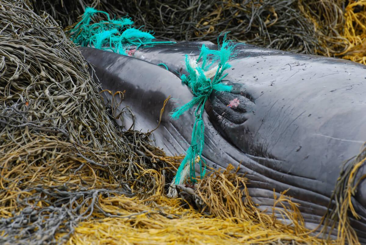 Una ballena enredada en una red.