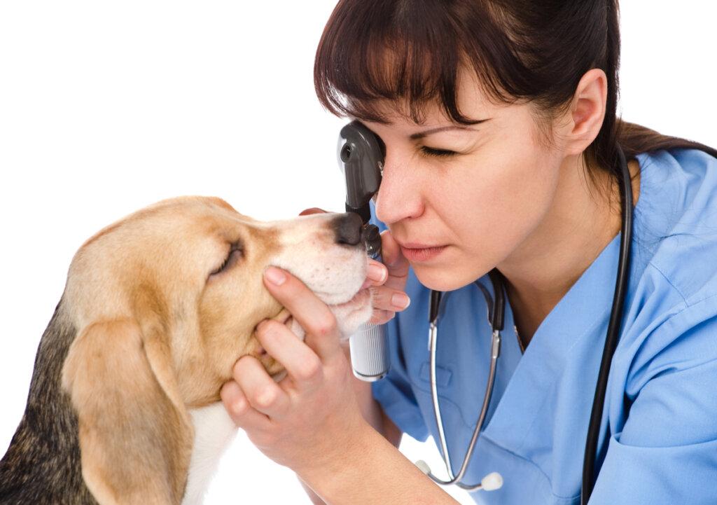 Causas de los ojos hinchados o blefaritis en perros