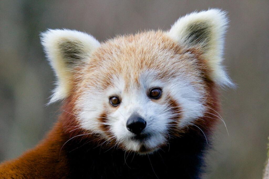 Categorías de amenaza en el reino animal según la IUCN