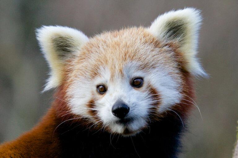 14 curiosidades sobre el panda rojo