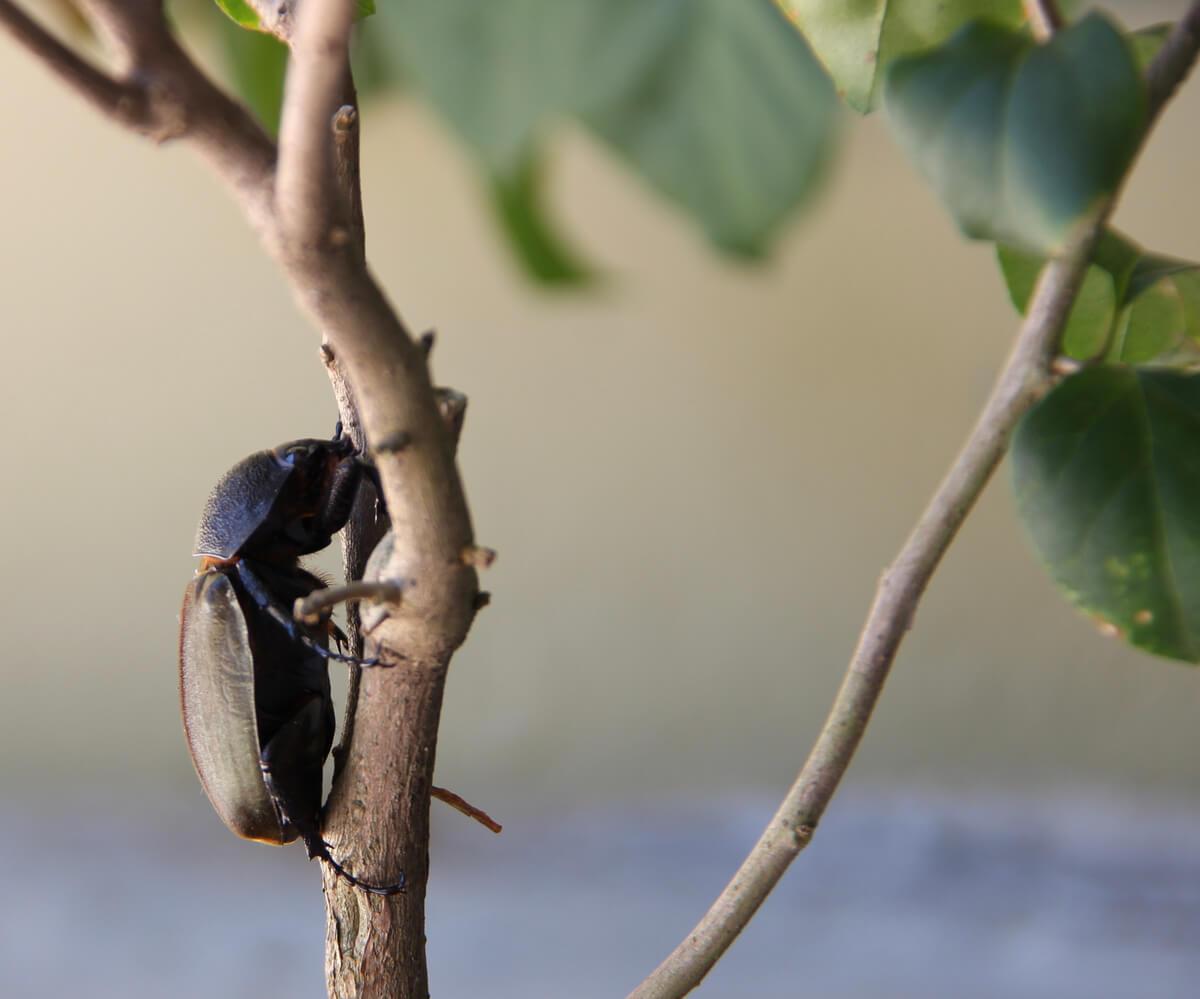 Un escarabajo cascarudo torito sobre una rama.