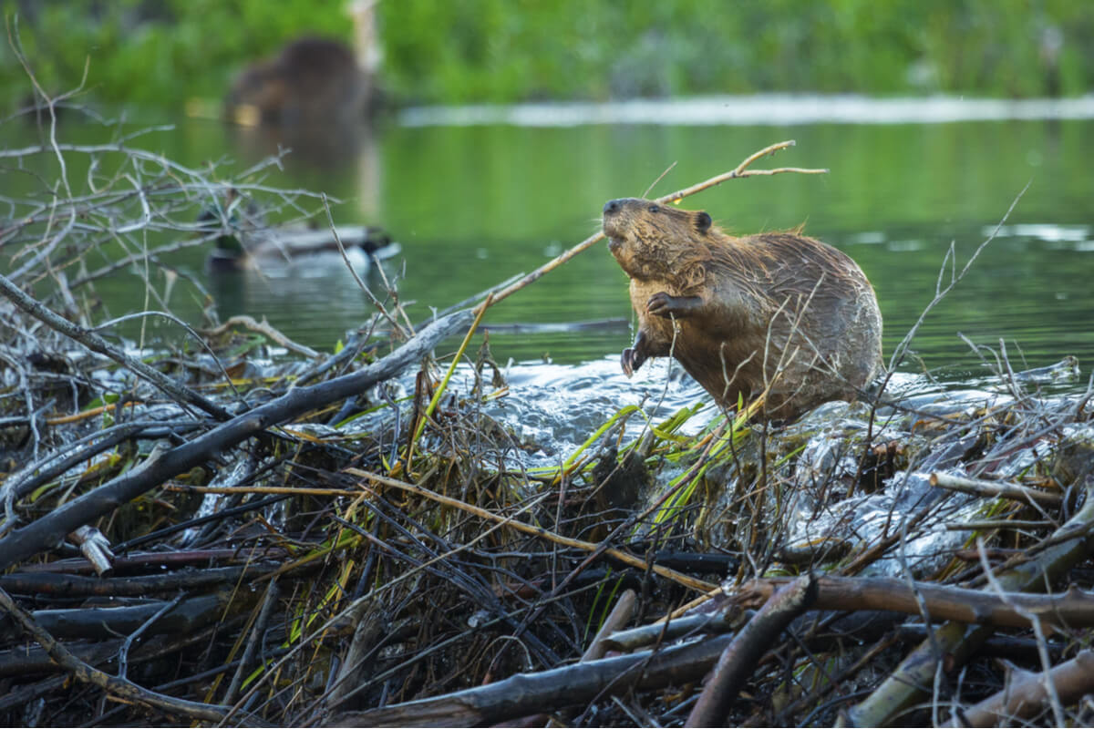 A beaver, part of the fauna of the North American prairies.
