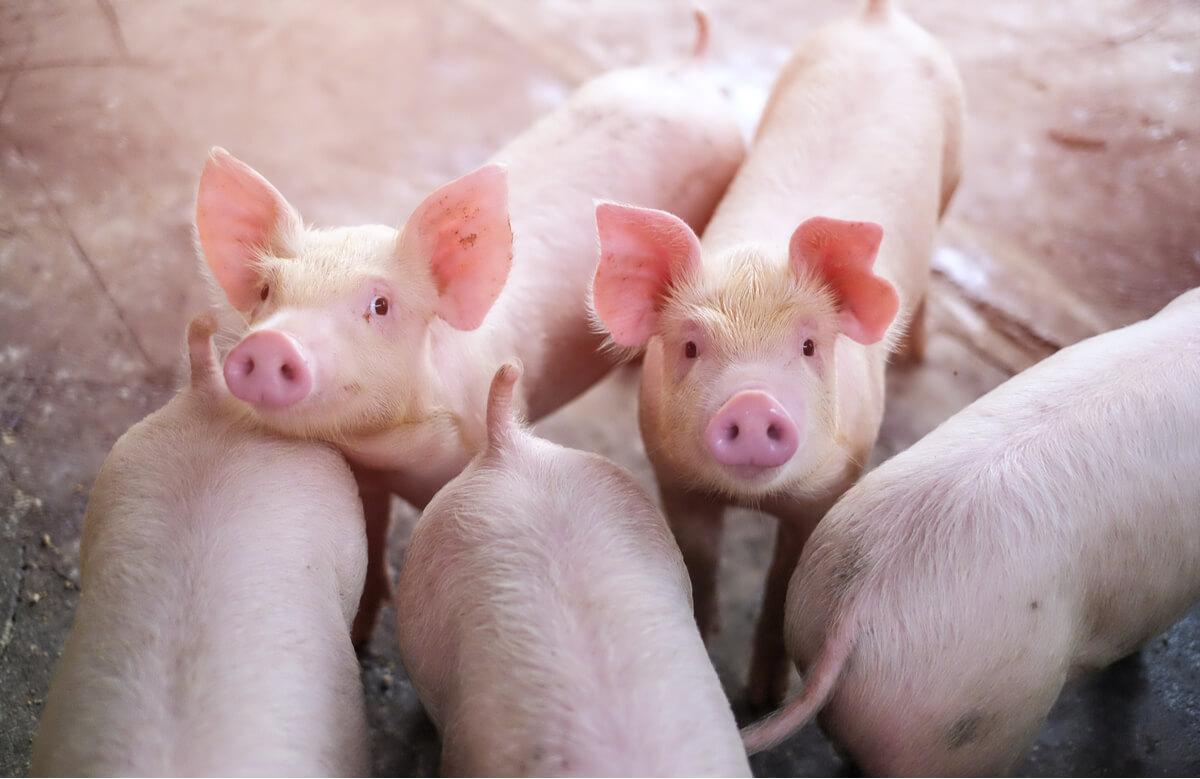 Un grupo de cerdos de granja.