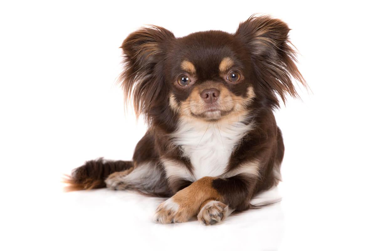 El chihuahua es la raza de perro más longeva.
