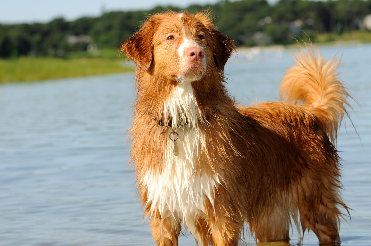 One of the types of retriever.