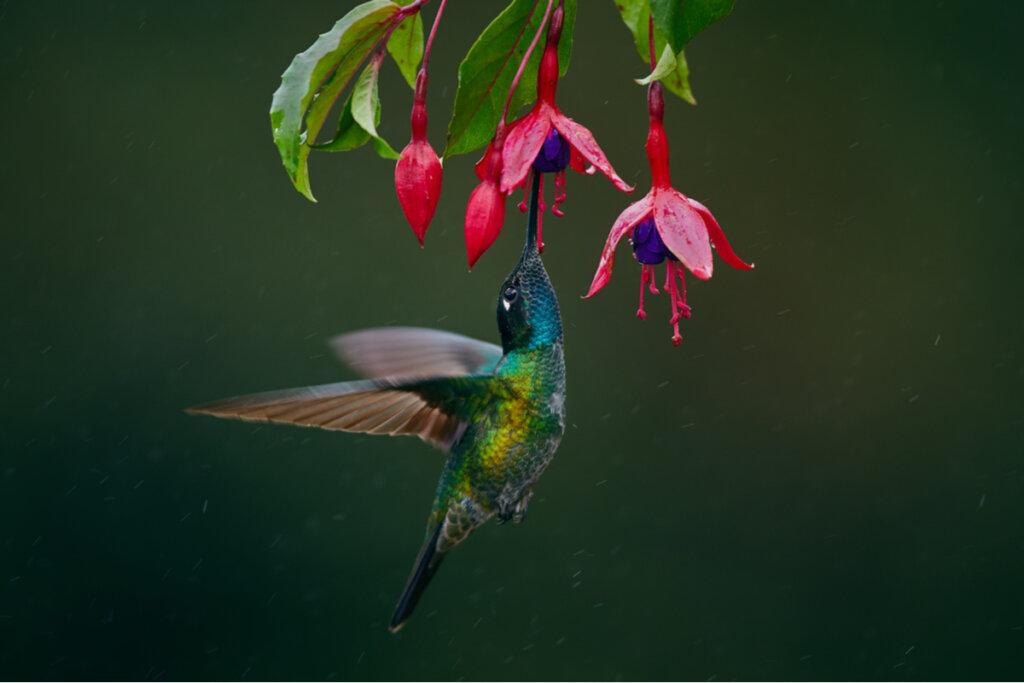 Las flores que atraen a los colibríes