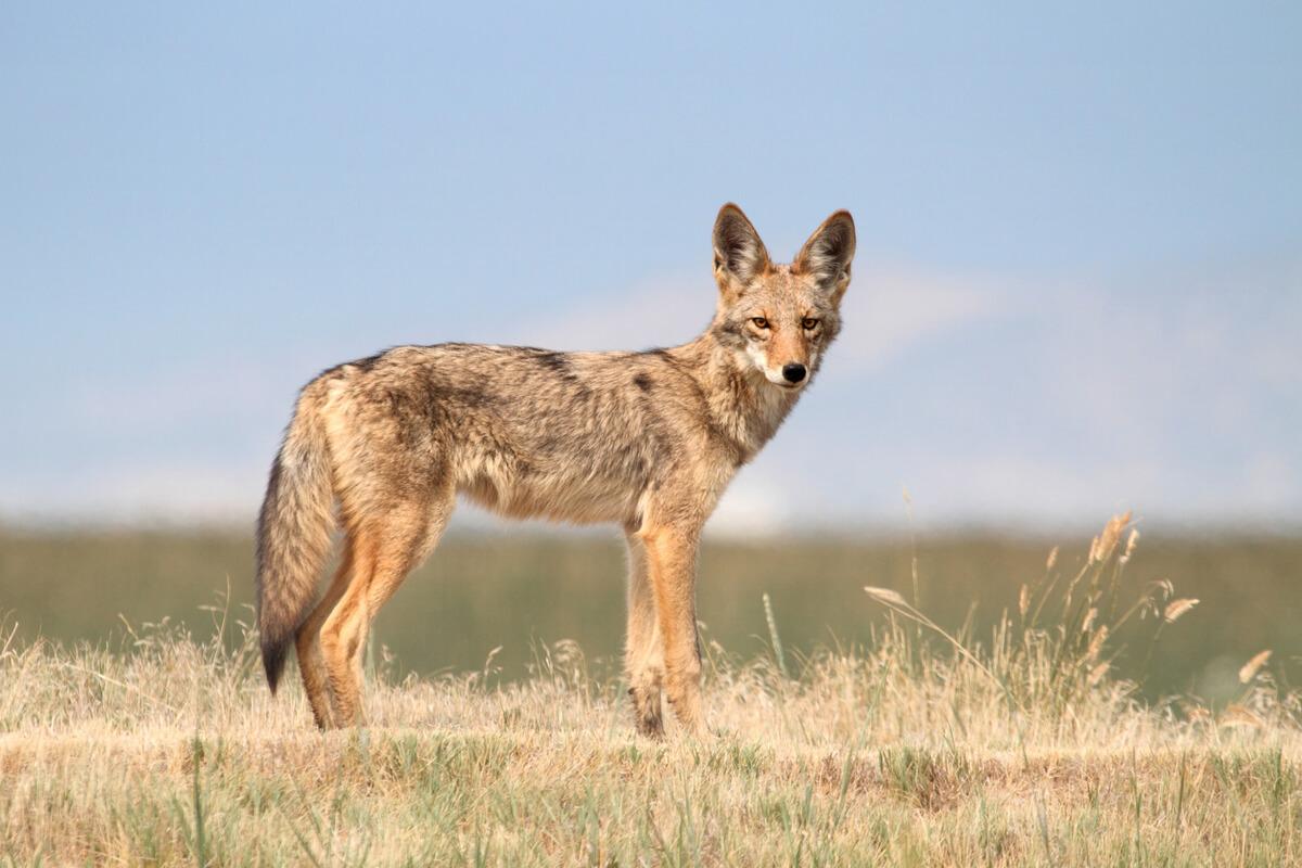 Un coyote regardant la caméra.