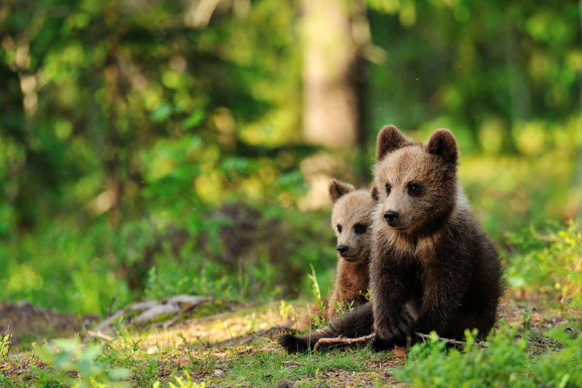Unas crías de oso en el bosque.