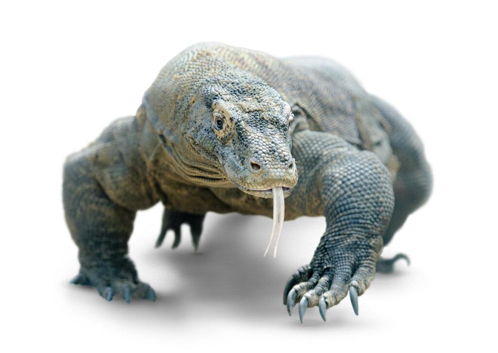 ¿Por qué es peligrosa la mordedura de un dragón de Komodo?