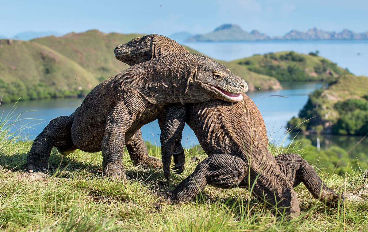 Dragones de Komodo peleando.