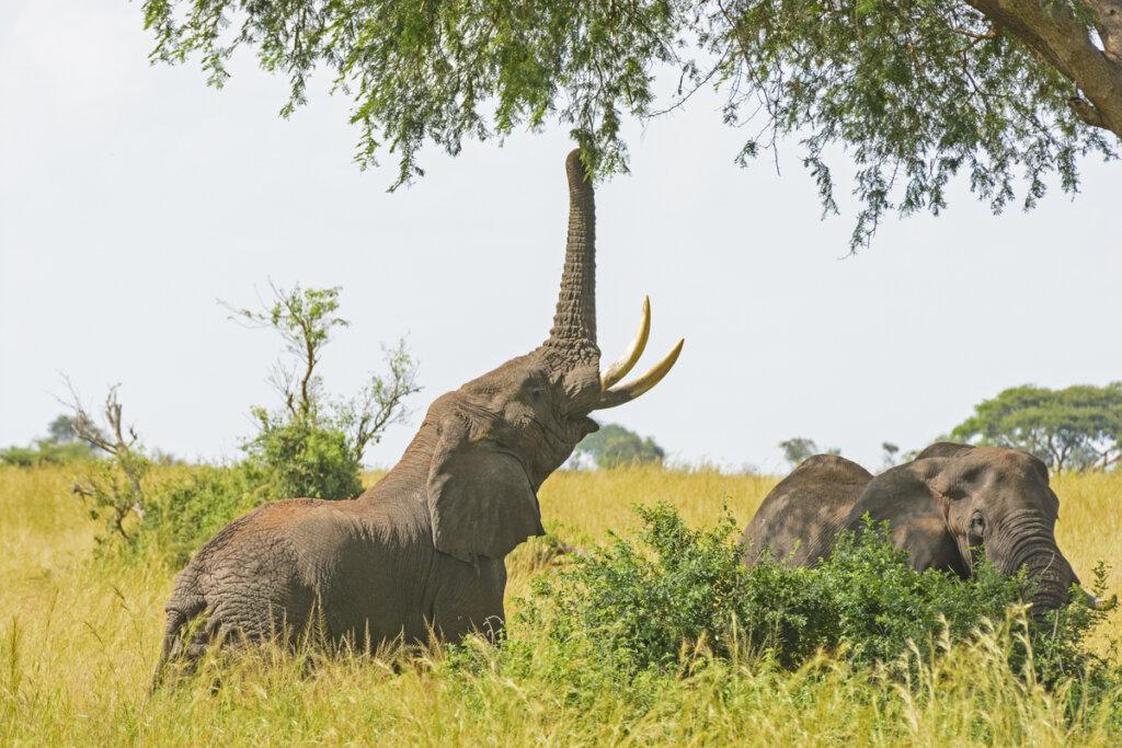 Las particularidades de la alimentación de elefantes en cautividad