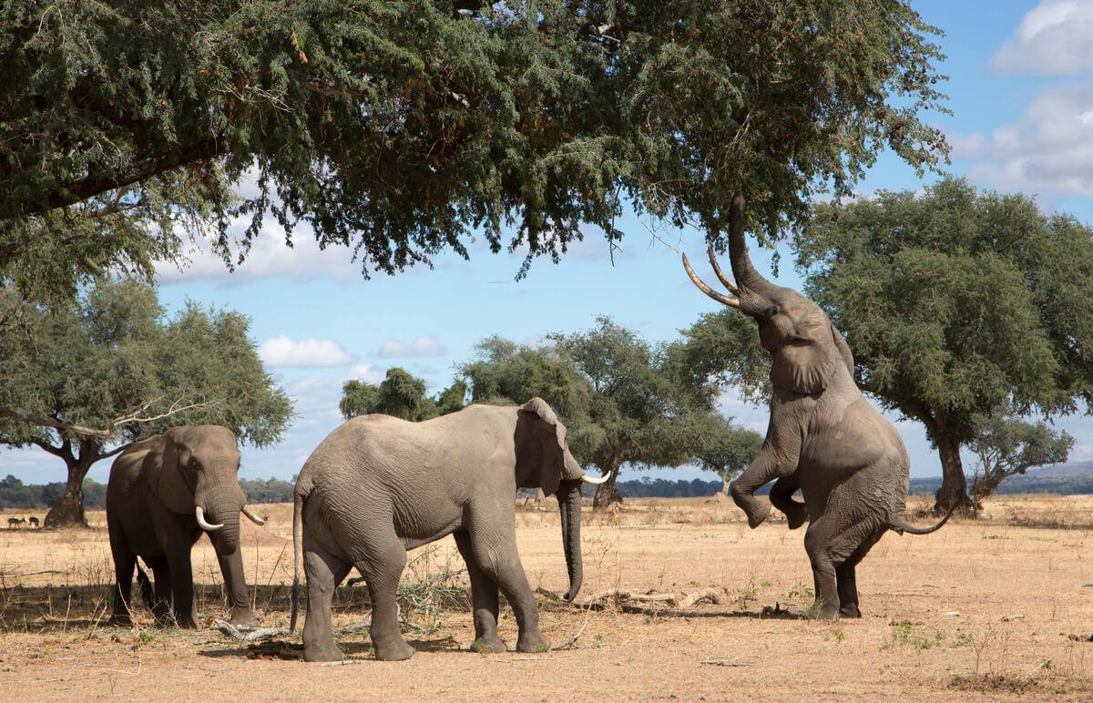 Des éléphants près d'arbres.