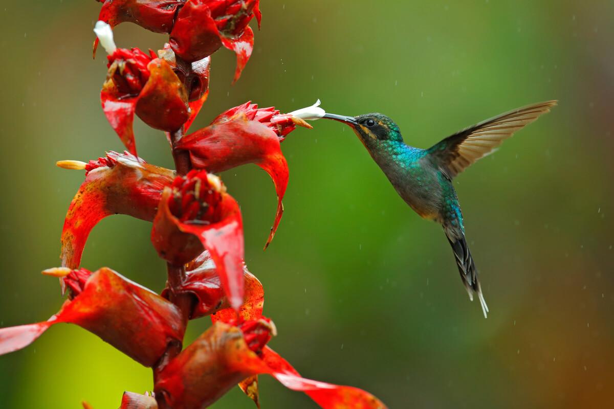 El ermitaño verde es una de las aves chupadoras de nectar.