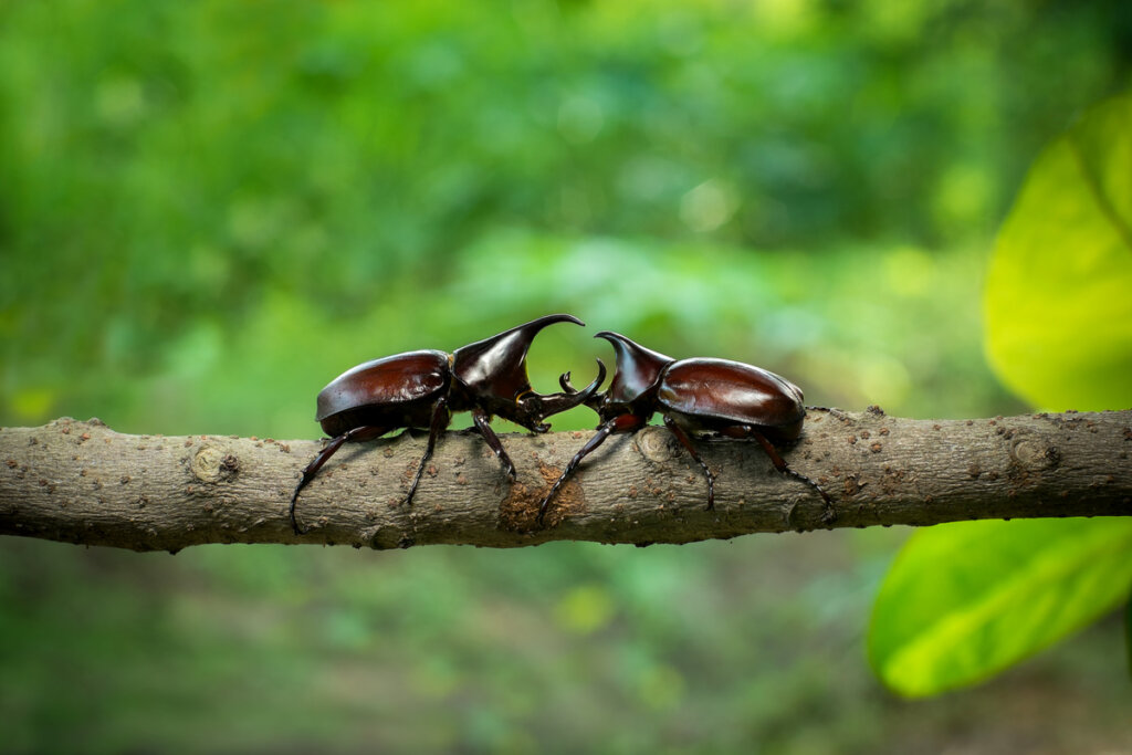 ¿Cómo es el hábitat de los escarabajos rinocerontes?