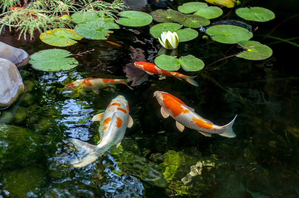 Un estanque con carpas.