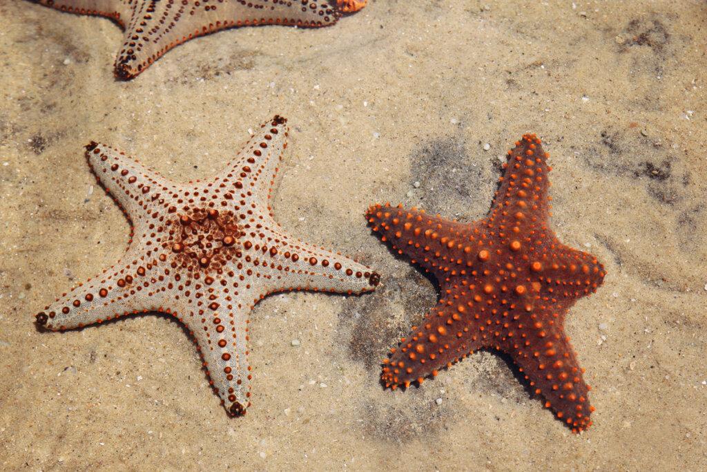 La regeneración en estrellas de mar: ¿el secreto de la vida?