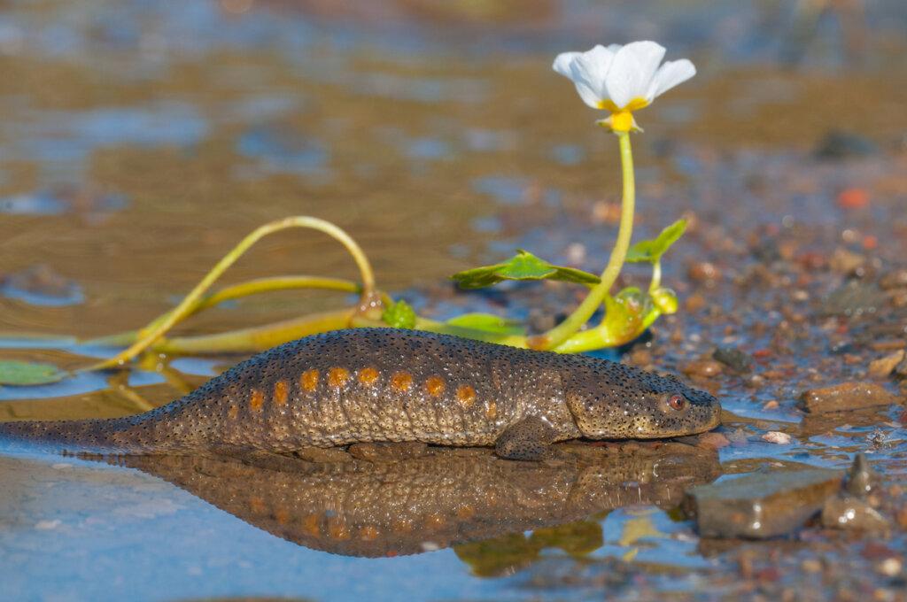 El anfibio urodelo más grande de Europa