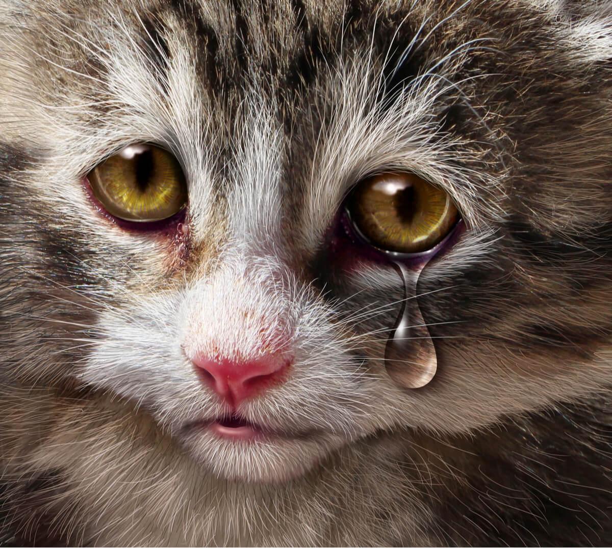 Un fotomontaje de un gato llorando.