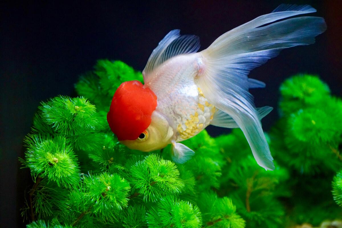 Un ejemplar de goldfish oranda.