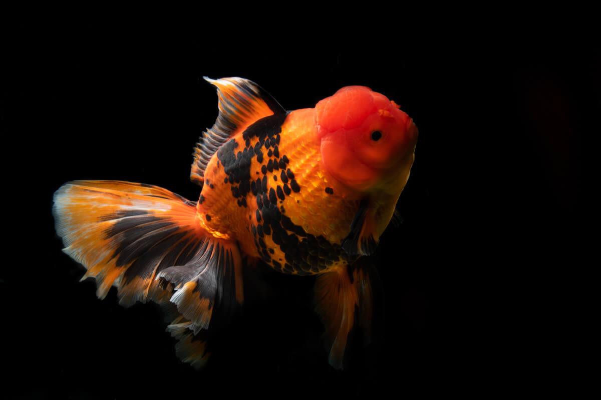 Goldfish o pez dorado: consejos avanzados