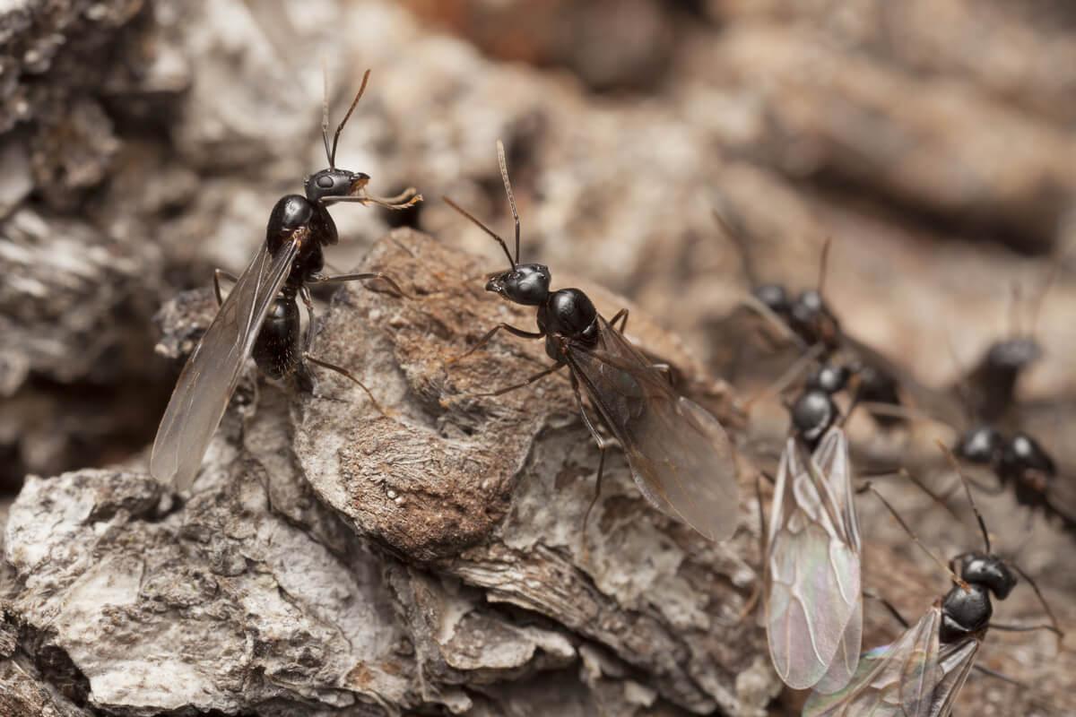 Un groupe de fourmis ailées.
