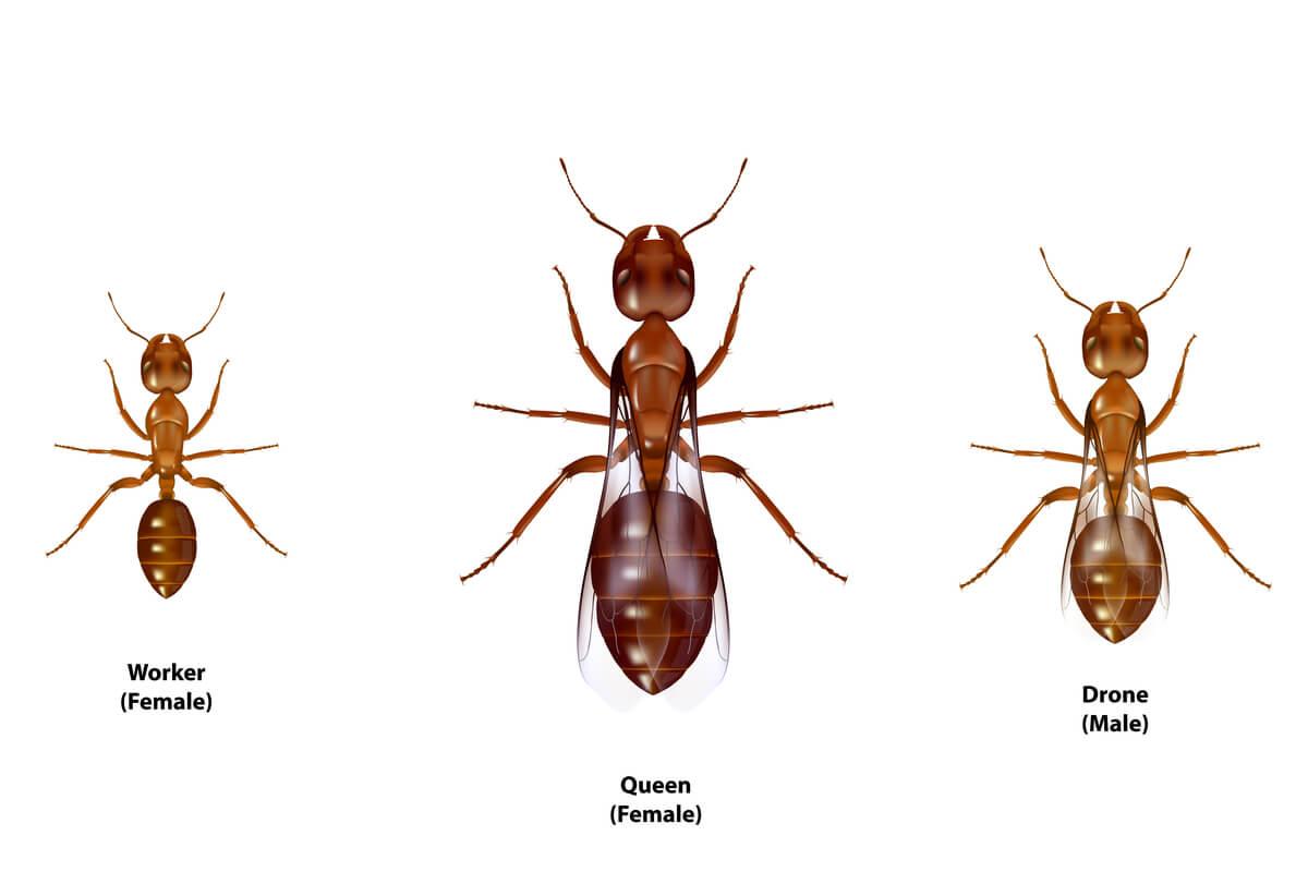 Dibujo con tipos de hormigas.