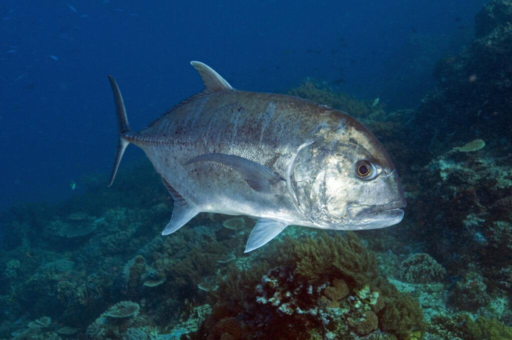 El jurel gigante: un pez comepájaros