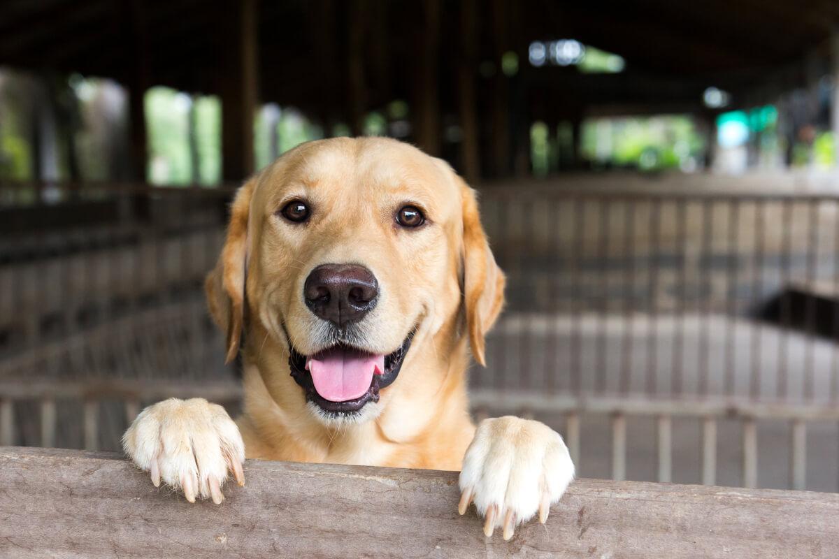Un labrador retriever contento.