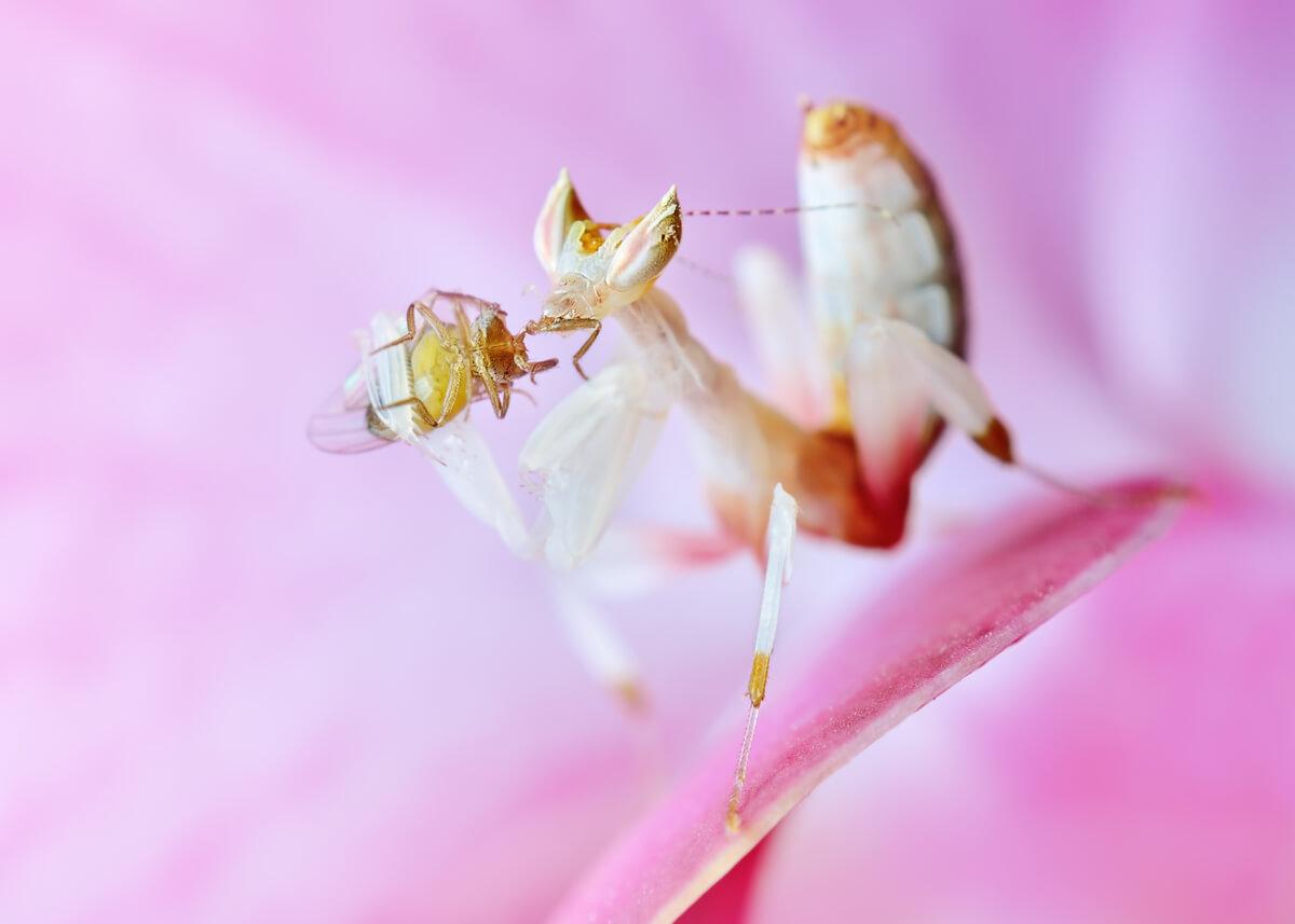 Una mantis orquídea ejerciendo el camuflaje.