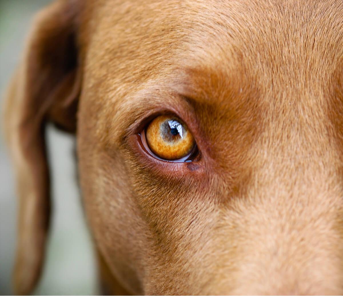 Un perro de ojo marrón.
