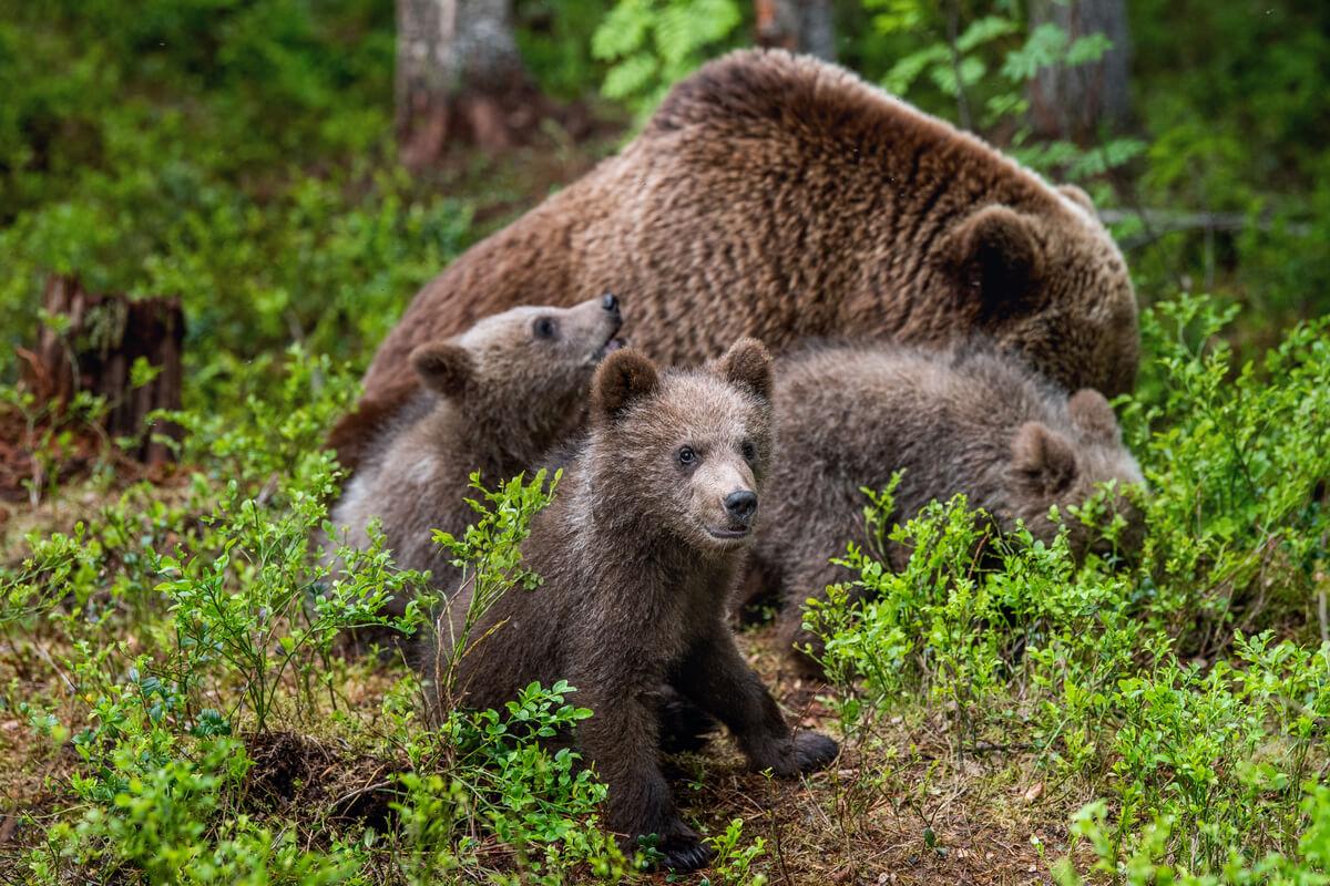 El oso cantábrico con sus crías.