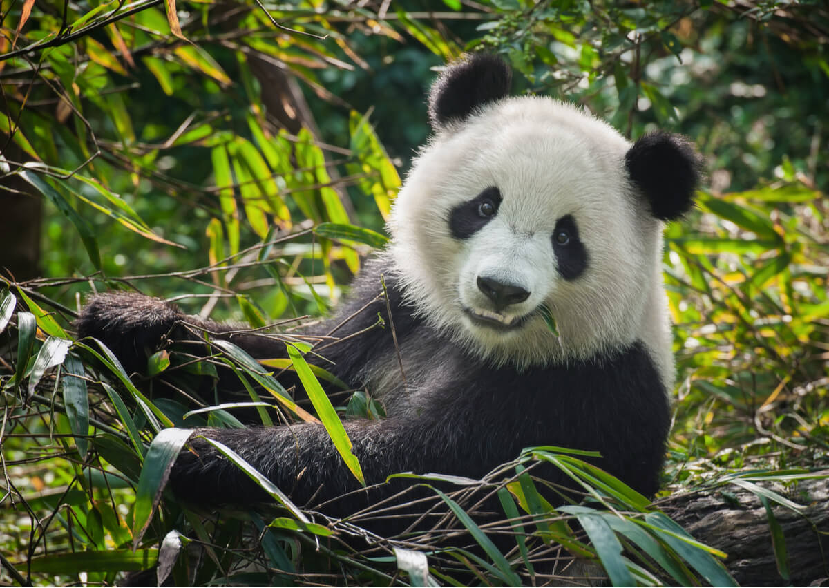 Un oso panda común en peligro de extinción.