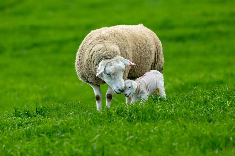 Comportamiento de las ovejas