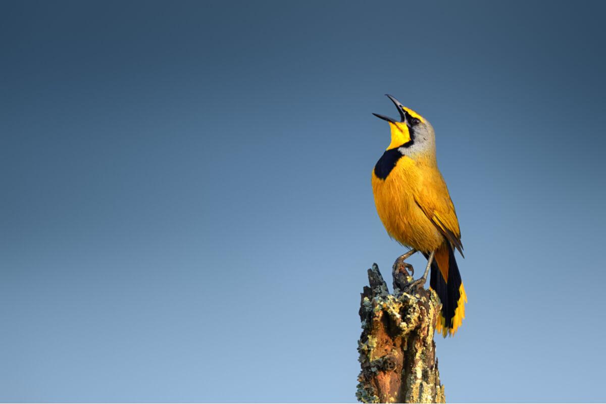Un pájaro canta sobre un árbol.
